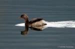 湖面を泳ぐ冬羽のカイツブリ