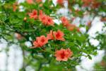 綺麗に花をつけたヤマツツジ