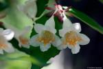 ツクバネウツギの花
