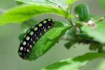 蝶蛾の幼虫
