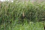 草むらで観察されたヨシゴイ