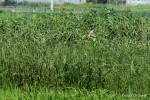 草原の上を飛ぶヨシゴイ